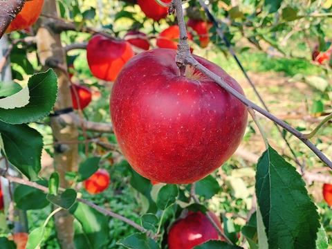 【9月限定発送】完熟りんご(サンつがる) 5kg (16~20玉)