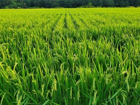 早期予約 【令和2年度産】 特別栽培米 ゆめぴりか 5kg (精米)