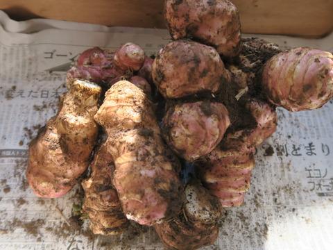 【事前予約・10月中旬以降発送】希少!【肥料・農薬不使用栽培】ほっこりな紫菊芋(500g)