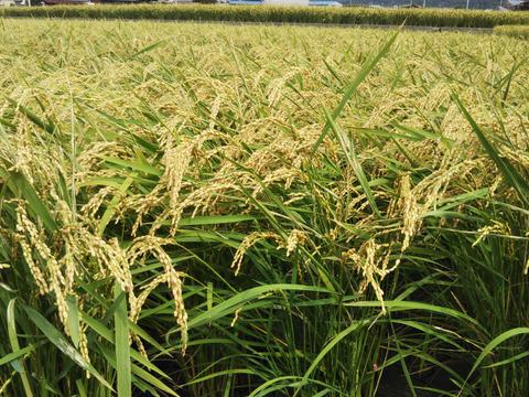 【令和3年度新米】玄米でお届け!!【数量限定】農薬不使用のキヌヒカリ玄米5kg《淡路島産》