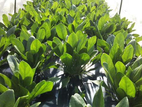 12パック たっぷり ほうれん草 特別価格でエントリー 農薬不使用栽培 春のほうれん草』 冬のトンネル栽培だからできる農薬不使用栽培   世界農業遺産ブランド野菜