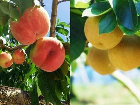 福島の桃と梨セット!完熟川中島&幸水・豊水・南水セット 計3kg どちらも楽しみたい人に