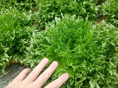 ※終了間近:シャキシャキのフリルレタス♪肥料、農薬は使用していません!(3玉入り)