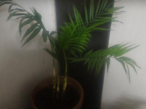【観賞用 花・植物】【高級ヤシ】【約12センチポット】【内容量1ヶ】