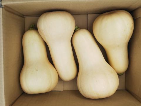 パンプキンスープに最適 【バターナッツかぼちゃ】 世界農業遺産ブランド野菜