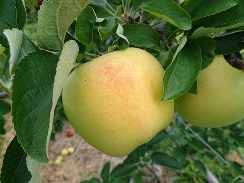 先行予約受付中!名月生産者が大好きなりんごです。 約5kg (写真は9/12現在)