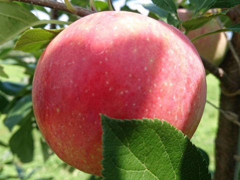長野県オリジナル品種 希少価値品種です「しなのリップ」約5kg(収穫始まります。)夏の王様
