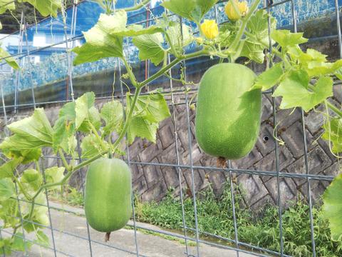 まだまだありますよ 【姫冬瓜・・・お買い得 冬まで保存できます】 世界農業遺産ブランド野菜