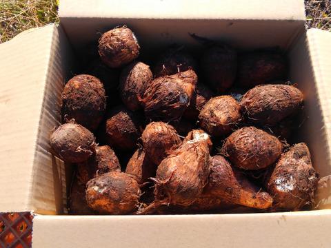 自然のままに育てた里芋たち