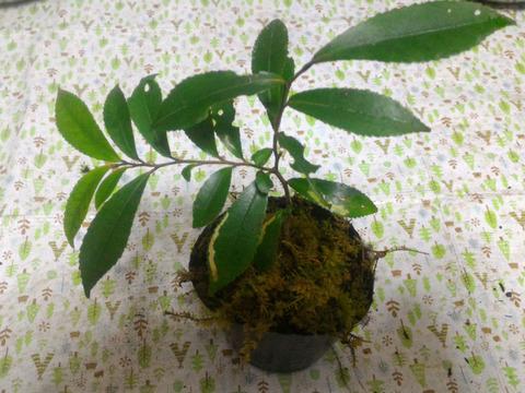 【苔】苔盆栽を始めよう(o^^o) 直径約9cmビニール ポット1ヶ ※植物は変更しますのでお任せください。