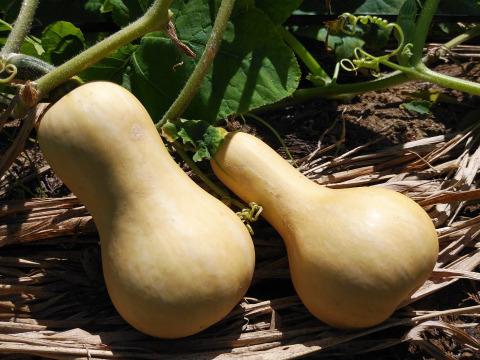 農薬・化学肥料不使用バターナッツかぼちゃ*•1㎏