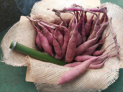 【美肌・鈴なり!】紅はるか*風袋込み2kg Mゴールドと赤紫蘇が育てた美肌 炊飯器に丁度良い小ぶりサイズ 青竹プレゼント付き