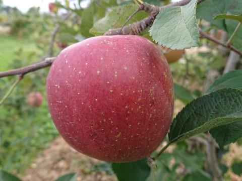 【先行予約開始!】安曇野産サンふじ約10kg 安曇野が誇る三拍子、四拍子揃った美味しさを是非!(写真は10/19現在)だいぶ赤くなってきました。りんごの王道