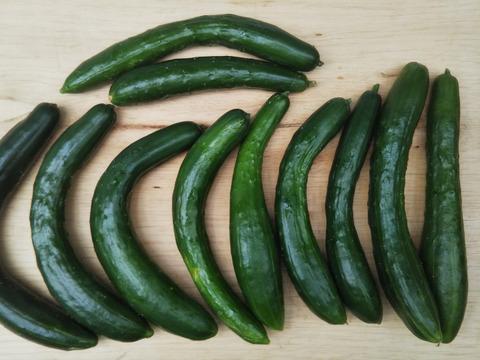 規格外「きゅうり」 タップリ1.5Kg以上  一生懸命育てた品ですので味は全く変わりません。見た目の差です 【朝採りキュウリ 1000円】 世界農業遺産 ブランド野菜シリーズ