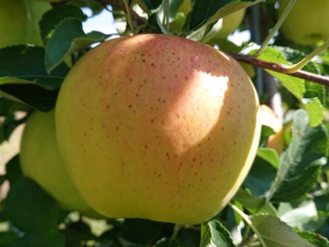 先行予約開始!名月生産者が大好きなりんごです。 約10kg (写真は9/12現在)