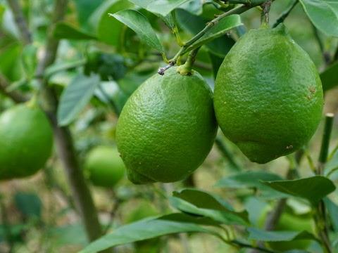 有機レモン(リスボン)5kg