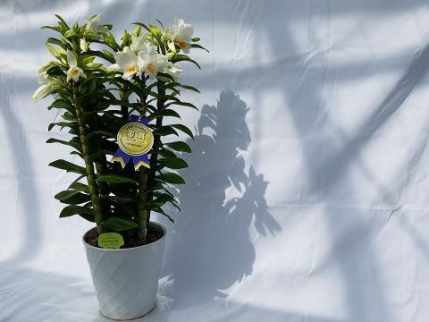 """【母の月ギフト】 ボリュームのある豪華な蘭をどうぞ 夏の蘭""""フォーミディブル"""""""