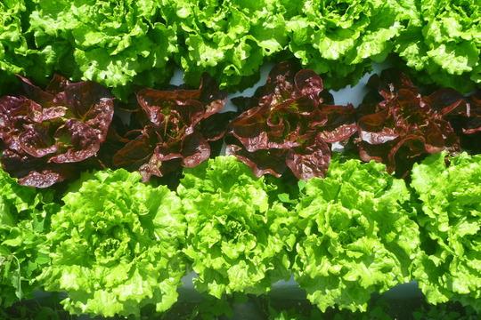 炒めてよし!チャオレタス8個&赤サラダ菜2個