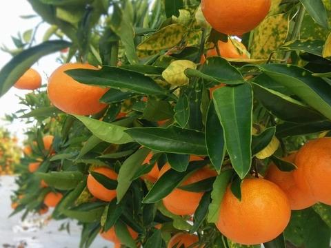 完熟収穫の「極早生みかん」2.7kg