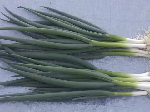 京の伝統野菜 九条ねぎ1kg【漢方栽培】