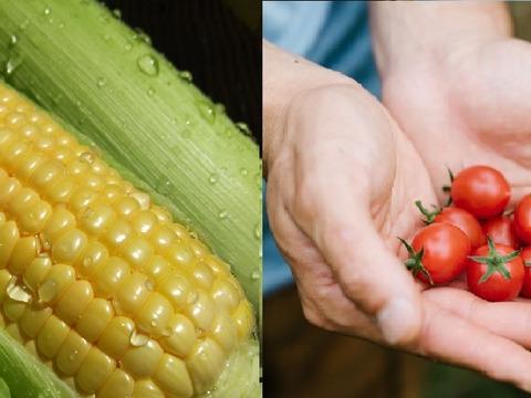 あまあまセット!生で食べられるフルーツコーン【2.5㎏】&完熟ミニトマト【1㎏】