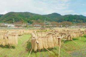 ヒノヒカリ 玄米 新米 3kg