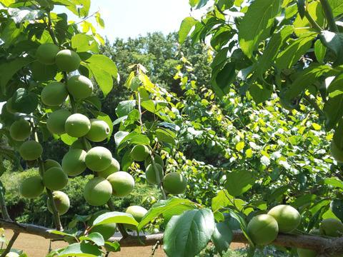 無農薬栽培!東京から直送の梅(3kg)