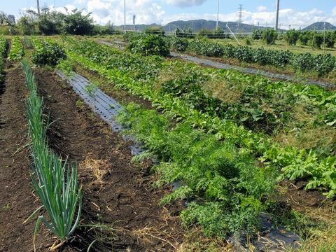 秋野菜のセット販売!無農薬栽培!4~6種類の野菜をおまかせで送らせて致しますm(_ _)m段ボール100サイズに入るだけ入れます😅