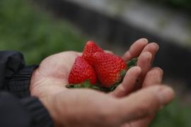 【無農薬・化学肥料不使用】いちご*紅ほっぺ*2パック
