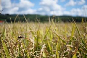 特別栽培米ゆめぴりか 玄米5k
