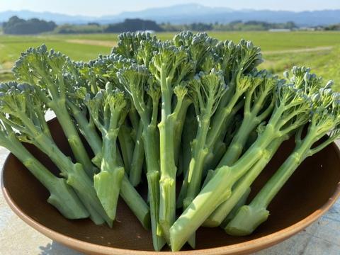茎がやわらかい!ハウス栽培スティックセニョール(900g)山形県庄内産