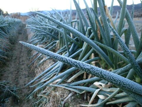 11月の予約販売✨霜に当たりす甘さを増した秋冬ネギ<ホワイト>✨L~L2サイズ3.5kg20本✨10%以上増量サービスす‼