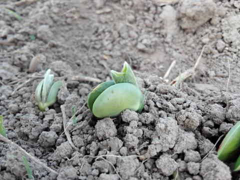 [数量限定]北海道産極大粒つるのこ系枝豆