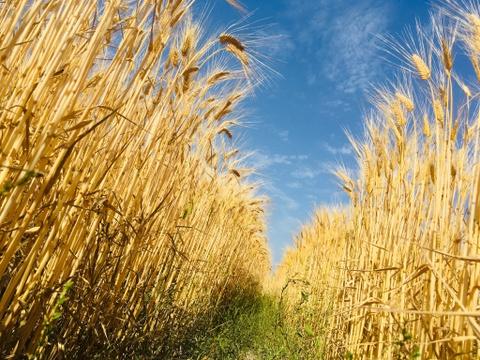 腸を整えて健康生活!食物繊維が豊富なキラリモチ麦(2Kg×2)