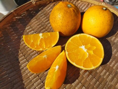 【期間・数量限定】訳あり大三島ネーブルオレンジ(5kg)