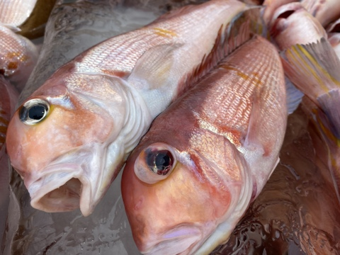 漁師直送!秋田沖で荒波にもまれた天然甘鯛(1.5kg)4~5匹