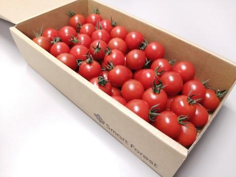 濃厚な旨味!酸味・甘味のバランス抜群!最高峰のミニトマト『フォレストフルティカ』1kg×1箱