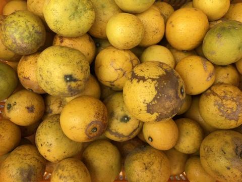 【農薬不使用】博多湾 能古島育ち!ニューサマーオレンジ(5kg)【家庭用】