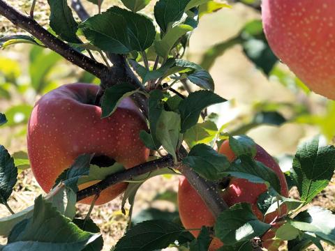 【希少品種】千雪 〜変色しない奇跡のリンゴ〜 5kg (約18玉)