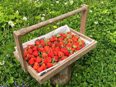 春イチゴ(けんたろう)250g×4パック