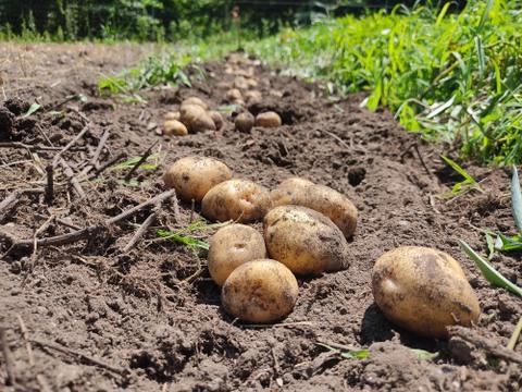 【9月末まで200円OFF】長野県産 農薬不使用 ジャガイモ きたあかり(3kg)