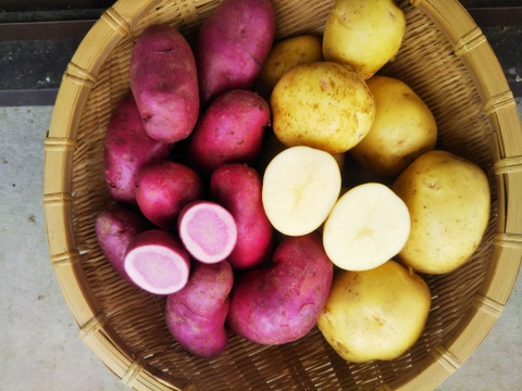 【新じゃが 春モデル】 赤いジャガイモ・ゴールドなジャガイモ 世界農業遺産ブランド野菜