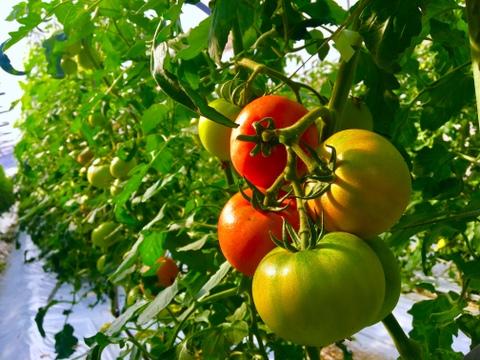 【超産直!】 トマト2kg 収穫後すぐに届くトマトはいかがでしょうか!