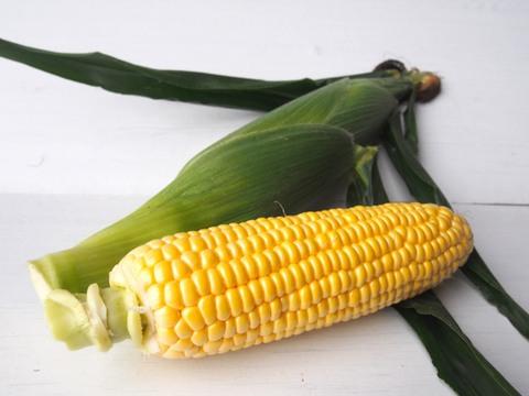 【予約受付中・6月頃発送開始】農薬不使用スイートコーン『甘々娘』(14本前後)*5kg
