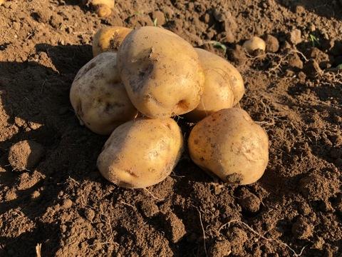 【カボチャ入り】キタアカリ発祥農場のジャガイモ Mサイズ合計5㎏