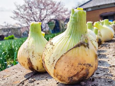 【大玉サイズ】淡路島産新たまねぎ 5kg 兵庫県認証食品 レシピ付き!【訳あり】
