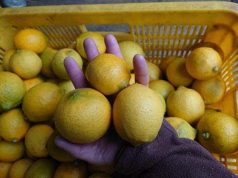 爽やかな香り♪お料理、お菓子作り好き様へ♪ ノーワックスのまーくん家の家庭用レモン  箱込み5キロ箱