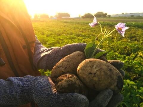 【レシピ付】馬鈴薯!しっとり甘い新品種 ピルカ2021(1.6kg)