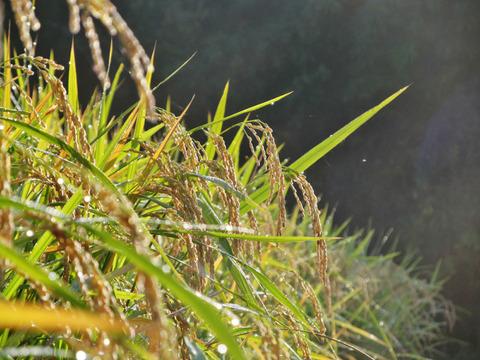 自然栽培・ヒノヒカリ白米5kg(令和2年10月収穫・未検査米)