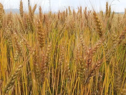 石臼で挽いた小麦粉 全粒粉500g